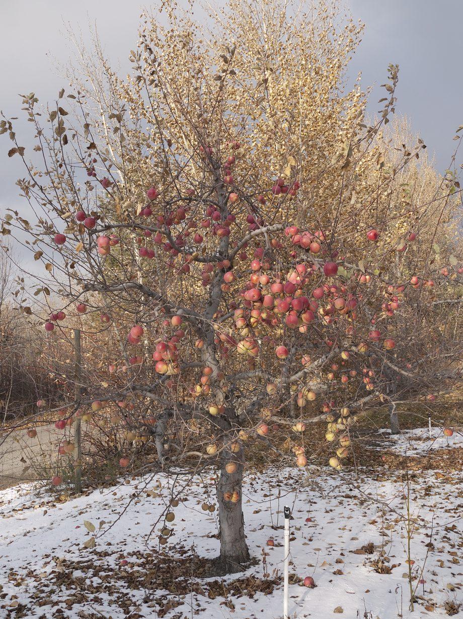 Fuji Culls (Apple Tree), 2011